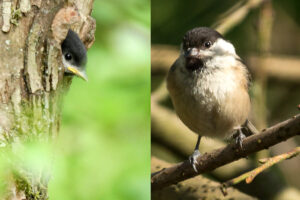 Willow tit. Chick: Paul T, Adult: Colin M